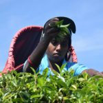 Has COVID-19 Reversed Progress for India's Small Tea Growers? — Global Issues